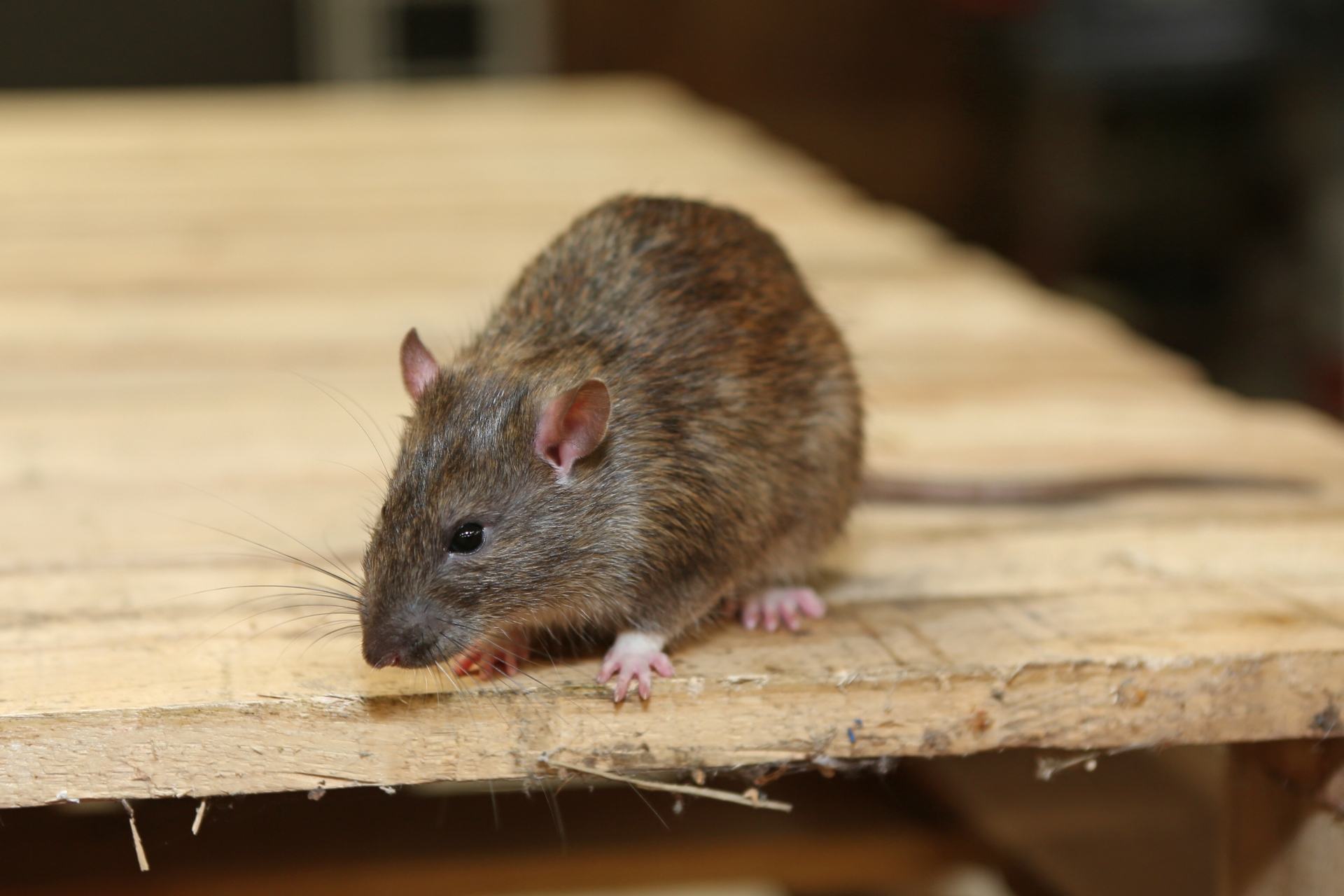 Rat Infestation, Pest Control in New Cross, New Cross Gate, SE14. Call Now 020 8166 9746